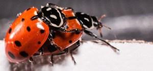 ladybugs-2206962_1920